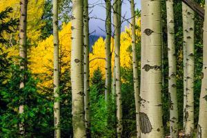 Aspen Grove In Autumn #109370