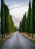 Cypresses #11812