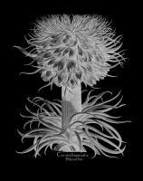 Corona Imperialis Polyanthos #123029