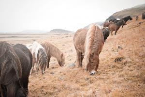 Horses of Hofn II #49812