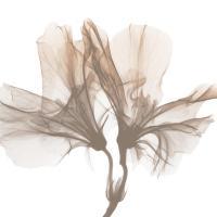 Dry Azalea 1 #52762