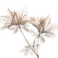 Dry Azalea 2 #52763