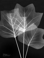 Extravagant Tulip Tree #52899