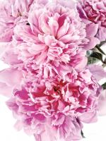 Pink Peony Cluster #58071