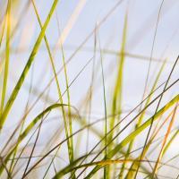 Sea Grass #83549