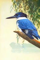 Belted Kingfisher #98434