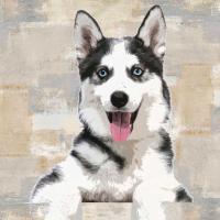 Siberian Husky #KG114644