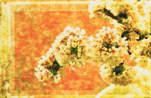 Cherry Blossoms #72868