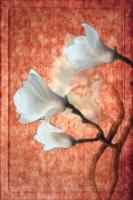 China, Magnolia Blossoms #72869