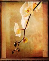 Orchid #3 #72877
