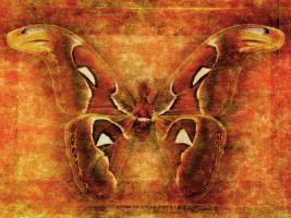 Attacus Atlas Moth #72883