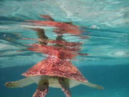 Belize Turtle #89639