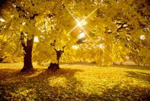 Big Leaf Maple Trees in Fall Color with Sunburst #93079