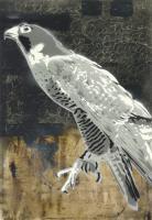Peregrine Falcon #91014