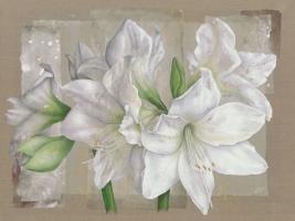 Amaryllis Blanc #IG 4837