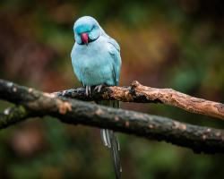 Blue Parrot #IG 9004