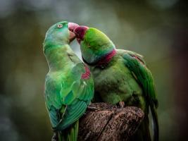 Green Parrot I #IG 9006