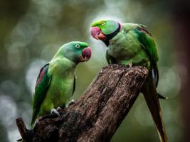 Green Parrot II #IG 9007