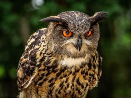 OE Oe Owl #IG 9008