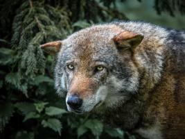 Lone Wolf #IG 9009