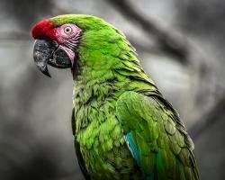 Green Ara Parrot #IG 9153