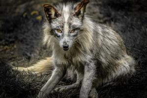 Silver Fox #IG 9172