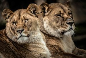 Lionesses #IG 9175